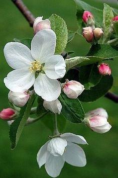 Spring Appleblossom...