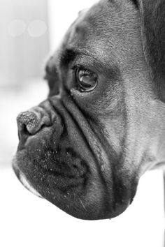 Beautiful Boxer Face