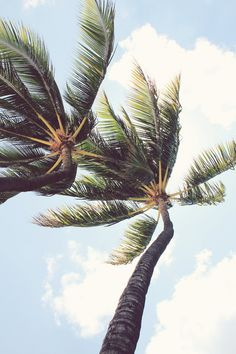 When a palm is crooked near the top, does that mean the wind is getting the better of it?