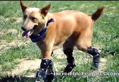 The World's First Dog with 4 Prosthetic Paws!! - pinned by @PediaStaff – Please Visit  ht.ly/63sNt for all our pediatric therapy pins