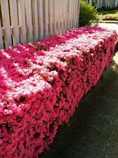 These Azaleas have been trimmed into hedges.  Now that they've bloomed they look really cool.