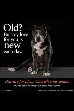 Elderbulls are just the best!! Don't shy away from adopting an older dog... they just know that much more about loving you. I love my sugar faces!! ♥