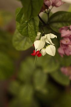 Bleeding Heart Vine - Clerodendrum thomsoniae is also known as The glory bower which is an attractive bushy, tropical looking twining vine.