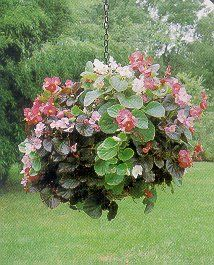 How to Plant a Begonia Floral Globe