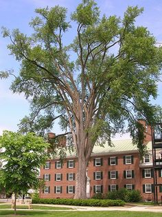 American Elm on Dartmouth College campus, June 2011 Dartmouth College, College Campus, American Revolution, Higher Education, New Hampshire, Multi Story Building, Mansions, House Styles, Conspiracy