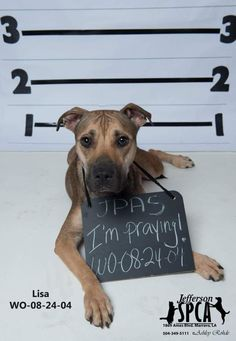 Lisa - URGENT - Jefferson Parish Animal Shelter: WEST Bank in Marrero, LA - ADOPT OR FOSTER - Young Spayed Female Shepherd/Pit Bull Mix