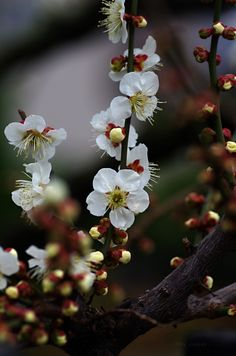 "uyamt: ""梅(うめ) Ume blossoms / Japanese apricot """