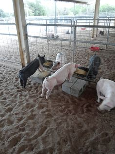 Stretch feeder modified Large Animals, Animals And Pets, Pig Showing, Pig Pen, The Barnyard, Showing Livestock, Toy House, Animal Science, Goat Farming