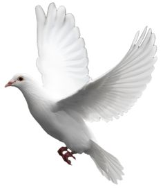 White flying pigeon PNG