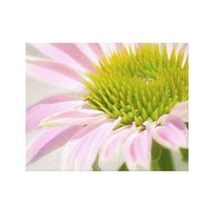 Dreamy Pink Coneflower Blooming Canvas Art Print Gallery Wrap Canvas