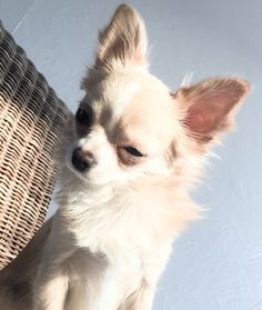 • My baby Bailey! #chihuahua #longhaired #dog #sunnyday