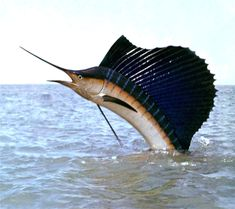 """Indo-Pacific Sailfish ~ Click on through the large version to see this full-screen on a black background (set your computer for full-screen). ~ Miks' Pics """"Sea Life lll"""" board @ http://www.pinterest.com/msmgish/sea-life-lll/"""