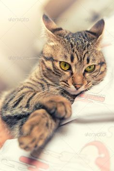 Realistic Graphic DOWNLOAD (.ai, .psd) :: http://hardcast.de/pinterest-itmid-1006745530i.html ... Relaxed cat ...  animal, cat, feline, on bed, pet, puppy, pussy, relax, relaxed, tabby, tabby cat, yellow eyes  ... Realistic Photo Graphic Print Obejct Business Web Elements Illustration Design Templates ... DOWNLOAD :: http://hardcast.de/pinterest-itmid-1006745530i.html