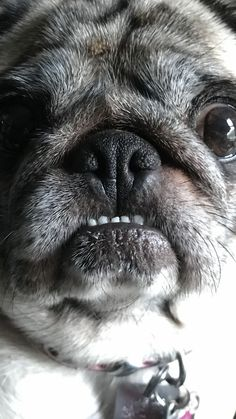 Gretel the pug and her rice teeth. I think she wants a cookie...