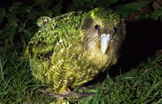 Best Dancer Birds in The World – When it comes to dancing, we could learn a lot from our feathered friends. These 10 birds may have the fleetest feet on planet. Check them out and don't forget to write down some of these magnificent dance moves. #Kakapo