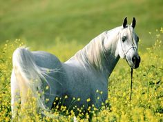 Top 12 Beautiful Horses In The World You Should Know ... ~♥~ ... The horse is considered the most faithful friend of man, being used in wars in the ancient times, being used as a pet and for horse riding. Horses are very beautiful animals from their childhood. There are many different kinds of horses all over the world, having many shapes, sizes and colors.... .. #ArabianHorse, #BeautifulHorses, #GypsyVanner, #Marwari, #TheChocolateSilverDapplePinto, #TheFriesian, #TheGolde