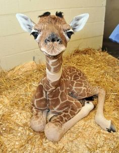 Baby Giraffe. Look at his sweet little face!