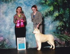 Siberian Husky red female, Moleigh, taking Multiple Group 2 wins and finishing her Championship.