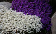 Bilderesultat for steinbedplanter Plants, Gardens, Outdoor Gardens, Plant, Garden, House Gardens, Planets