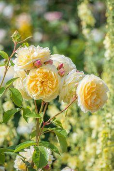 'Teasing Georgia' | David Austin English Rose ༺✿ ☾♡ ♥ ♫ La-la-la Bonne vie ♪ ♥❀ ♢♦ ♡ ❊ ** Have a Nice Day! ** ❊ ღ‿ ❀♥ ~ Sat 30th May 2015 ~ ❤♡༻ ☆༺❀ .•` ✿⊱ ♡༻ ღ☀ᴀ ρᴇᴀcᴇғυʟ ρᴀʀᴀᴅısᴇ¸.•` ✿⊱╮ ♡ ❊ **