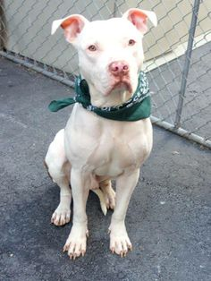 URGENT - Manhattan Center    CUPID - A0995718   NEUTERED MALE, WHITE / TAN, PIT BULL MIX, 1 yr  OWNER SUR - EVALUATE, NO HOLD  Reason INAD FACIL   Intake condition NONE Intake Date 04/04/2014, From NY 10457, DueOut Date 04/04/2014  https://www.facebook.com/photo.php?fbid=782882215057993&set=a.617938651552351.1073741868.152876678058553&type=3&permPage=1