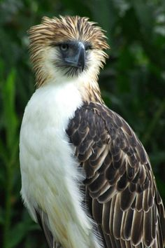 The endanger Philippine Eagle - Birds of Prey