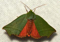 Nolid Moth (Clethrophora distincta, Nolidae) by itchydogimages, via Flickr