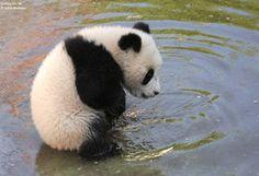 【癒し】パンダ画像集【もふもふ】 - NAVER まとめ