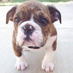 Omg so freaking cute wish I could cuddle a little guy like this every night I love bulldogs grew up with two they are the sweetest most loving dogs ever
