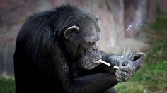 """Azalea, la chimpancé que fuma un atado de cigarrillos por día Corea del Norte  Es una de las atracciones del zoológico de Pyongyang. Sus propios cuidadores le inculcaron el hábito, además de enseñarle a hacer """"monerías""""."""