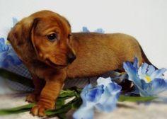 mini-dachshund