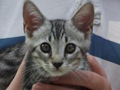 Aiken County Animal Shelter, Aiken, SC 803-642-1537  DIABLO is an adoptable Tabby Cat in Aiken, SC. DIABLO IS 12 WEEKS OLD AND WEIGHS 2.4 LBS.  Call today or come on down and visit ! ADOPTION FEE IS $35.00 AND COVERS SHOTS,WORMING,RABIES SHOT,HW TEST,S...