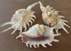 Sea Shell Shells Conch Shell Spider Conch Shell Beach