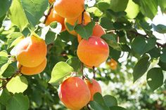 Blenheim Apricot Tree. The most popular apricot