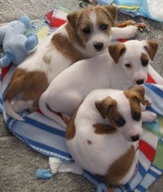 Triple Trouble! Awwww. So cute& I love the Jack Russells w/patches or spots over their eyes.