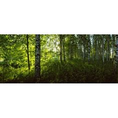 Birch trees in a forest Lappeenranta South Karelia Southern Finland Finland Canvas Art - Panoramic Images (27 x 9)