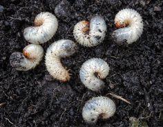 Wer Engerlinge im Garten entdeckt, bringt den Befall häufig schon unter Kontrolle, wenn man die Schädlinge einfach sofort mit der Hand entfernt. #engerlinge #garten #schädlinge  #bekämpfen #pflanzenschutz #meinschoenergarten