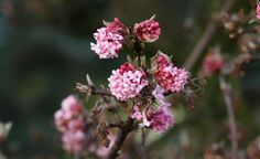 """DerWinter-Schneeball(Viburnum x bodnantense 'Dawn') ist einer der schönsten Winterblüher und zeigt ebenfalls oft schon im Herbst eine kleine Kostprobe seiner sehr stark duftenden rosa Blüten. Die Hauptblüte findet allerdings erst im März statt. Der Zierstauch besitzt eine aufrechte Krone und wird kaum höher als zwei Meter. Er ist unkompliziert und wächst auch an weniger sonnigen Plätzen im Garten. Tipp: Sehr schön ist auch sein weiß blühender """"Vetter"""", der Chinesische Duft-Schneeball…"""