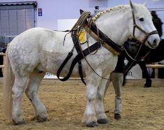 Heavy Horse Breeds - The Percheron Big Horses, Work Horses, Horses And Dogs, Horse Love, Majestic Horse, Beautiful Horses, Animals Beautiful, Courses Hippiques, Percheron Horses