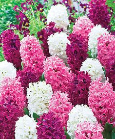 This Fragrant Hyacinths Velvety Velvets Bulb - Set of Eight by Michigan Bulb Company is perfect! #zulilyfinds