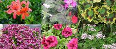 MUŠKÁTY- OBĽÚBENÉ DRUHY | Hurá do záhrady