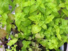 Due to an overabundance of mint, I decided to experiment. What can I make with mint? What do I do with anything I have too much of? Make wine out of it!!