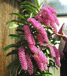 Phong Lan Nghinh Xuan | Orchids-shop.eu - Vanda-like https://orchideeen-shop.nl/eng-resultaat.php