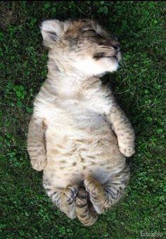 Sleeping baby lion