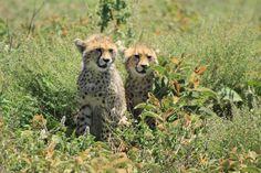 Cheetahs in Tanzania