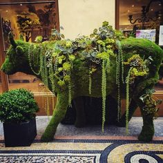 Particularly succulent bœuf.  (Photo taken by H. Manley in front of Emilio Robba boutique in Paris) #succulents
