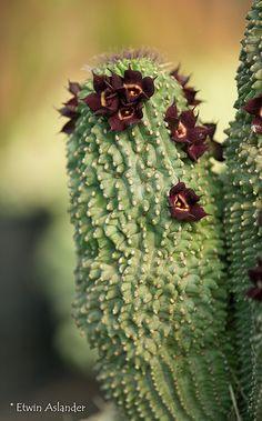 Hoodia pilifera ssp. annulata | Flickr