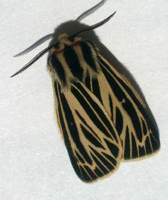 Virgin.tiger.moth.dorsal
