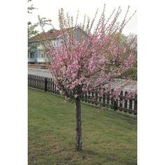Bildresultat för körsbärsträd prydnad