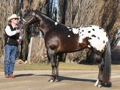 Mr All Inclusive, Appaloosa Stallion in North Dakota   Appaloosa Horses for Sale